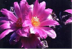 cactus_ariocarpus_kokubotan