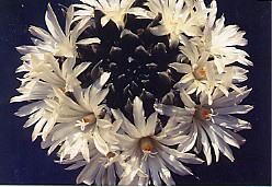 cactus_ariocarpus_sankakubotan