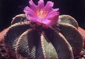 cactus_aztekium_hintonii