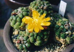 cactus_citia_knizei