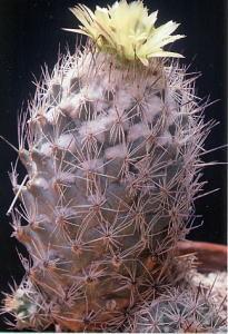 cactus_coryphantha_gindo