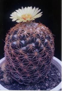 cactus_coryphantha_houkamaru