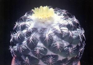 cactus_coryphantha_kurotogezougemaru