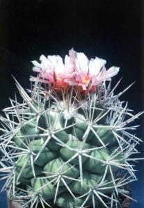 cactus_coryphantha_taisyoukan