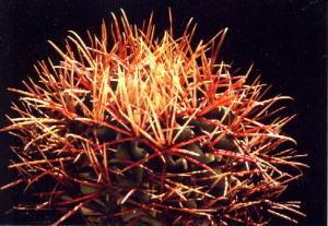 cactus_echinocactus_shinryugyoku