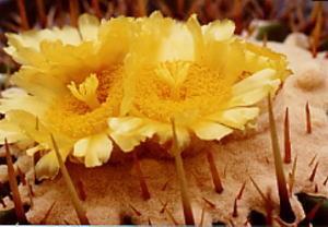 cactus_echinocactus_shunrai