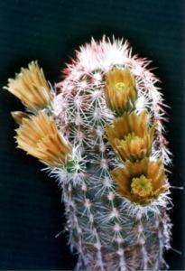 cactus_echinocereus_hakkoutukasa