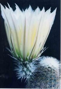 cactus_echinocereus_nisikinomihata