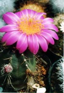 cactus_echinocereus_utyuden