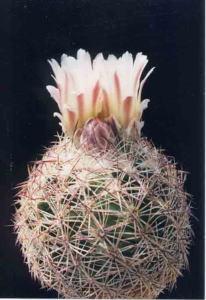 cactus_echinomastus_sakuramaru