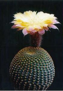 cactus_echinopsis_kuronanako