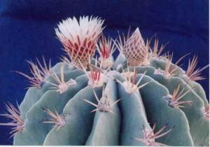 cactus_ferocactus_greenwoodii