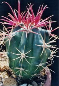 cactus_ferocactus_shinsengyoku