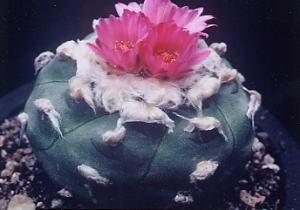 cactus_lophophora_akabanaubadama