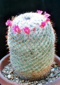 cactus_mammillaria_dairigyoku