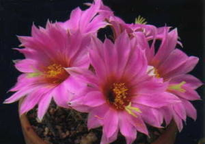 cactus_mammillaria_houraiguu