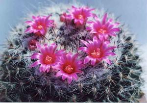 cactus_mammillaria_kirizumimaru