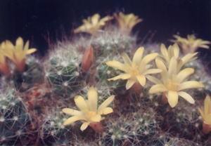 cactus_mammillaria_koukamaru