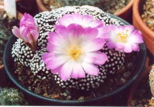 cactus_mammillaria_luethyi