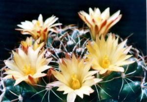 cactus_mammillaria_melaleuca