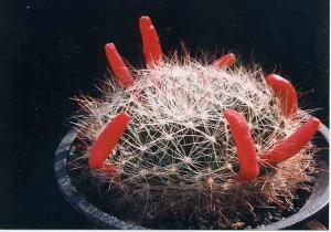 cactus_mammillaria_sensyumaru