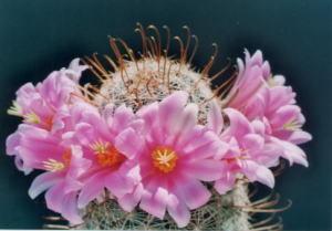 cactus_mammillaria_shikinryu