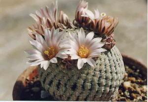 cactus_mammillaria_sironanako