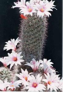 cactus_mammillaria_syumeiden