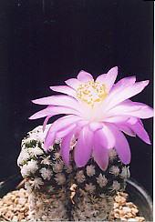 cactus_mammillaria_theresae