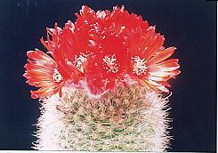 cactus_parodia_hisyuugyoku