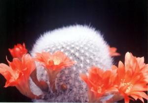 cactus_rebutia_muscula