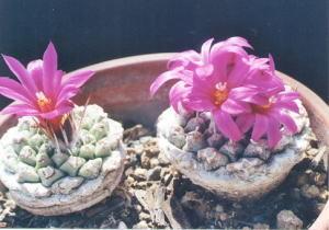 cactus_strombocactus_akabanakikusui