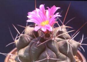 cactus_thelocactus_bukyumaru