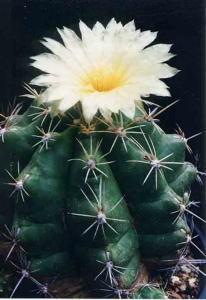 cactus_thelocactus_hakusigyoku