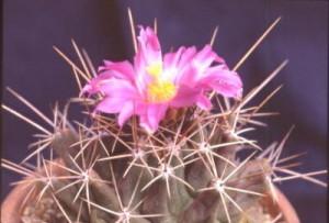 cactus_thelocactus_matsudae