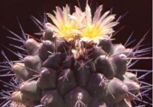 cactus_thelocactus_tyokyumaru