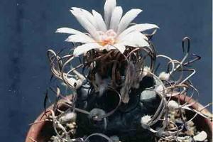 cactus_turbinicarpus_gajoumaru