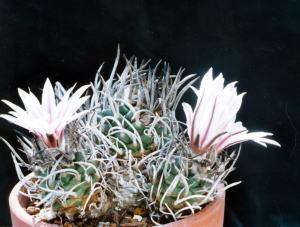 cactus_turbinicarpus_syouryumaru