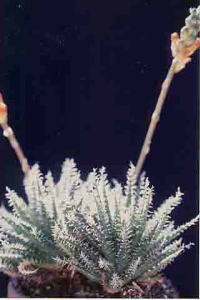 succulents_aloe_haworthioides