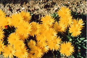 succulents_bergeranthus_terunami