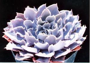 succulents_echeveria_shaviana