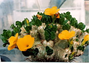 succulents_pachypodium_ebisuwarai