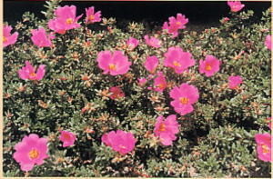 succulents_portulaca_gilliesii